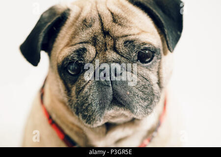 portrait of a pug close-up on white background - Stock Photo
