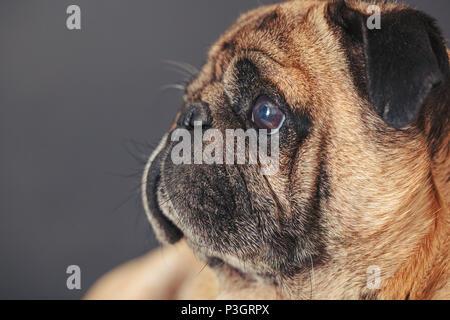 portrait of a pug dog on black background - Stock Photo