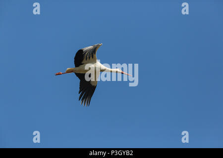 one natural white stork (ciconia ciconia) flying in blue sky - Stock Photo