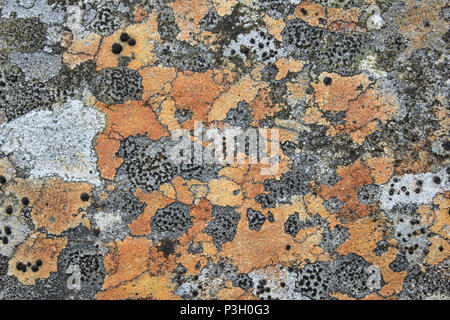 Moorland Lichen including Crustose Lichens Rhizocarpon oederi, Pertusaria corallina - Stock Photo