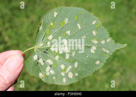 Damage to Tilia europaea leaf caused by the Lime felt gall mite Eriophyes leiosoma - Stock Photo