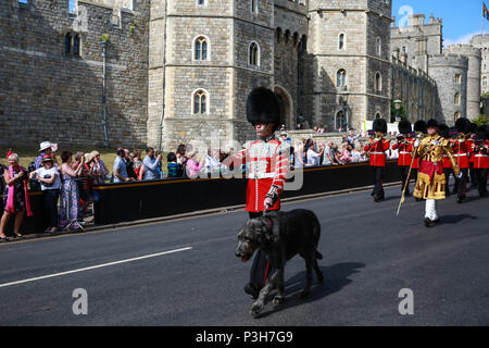 Windsor, UK. 18th June, 2018. Domhnall, the six-year-old Irish wolfhound mascot of the Irish Guards, leads the Welsh Guards Band and the Irish Guards back to Victoria Barracks following the annual ceremony of the Order of the Garter at Windsor Castle. Credit: Mark Kerrison/Alamy Live News - Stock Photo