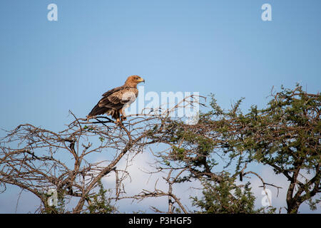 Tawny Eagle Aquila rapax in profile on the top of a tree in the Southern African bush - Stock Photo