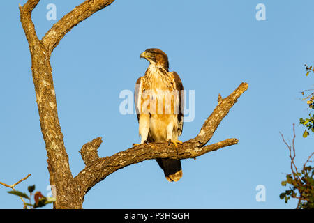 Tawny Eagle Aquila rapax perching in an old dead tree on the plains in Mkuze, South Africa - Stock Photo