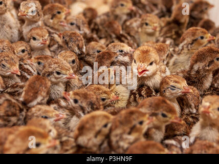 Young pheasant chicks hacting in an incubator on a game farm - Stock Photo