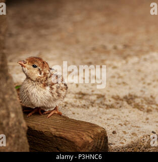 Day old French Partridge chick stood in the corner of a barn on a wooden rail - Stock Photo