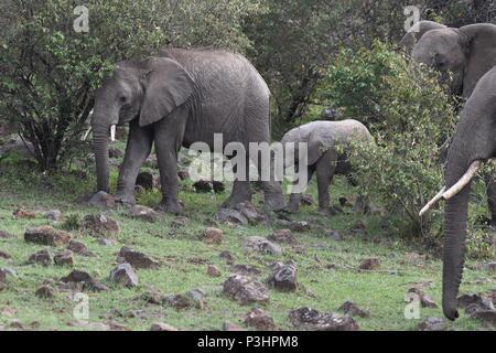 Herd of elephants at Mahali Mzuri in the Olare Motorola Conservancy, Maasai Mara, Kenya, East Africa. Genus Loxodonta. - Stock Photo