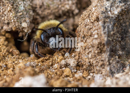 UK wildlife: chocolate mining bee (Andrena scotica) at the entrance to a sandy tunnel nest - Stock Photo