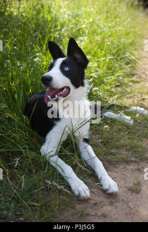 Border Collie Laying in long green grass - Stock Photo