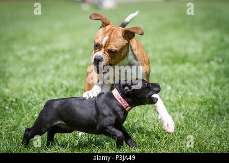 Leavitt Bulldog puppy and Staffordshire Bull Terrier puppy playing together - Stock Photo