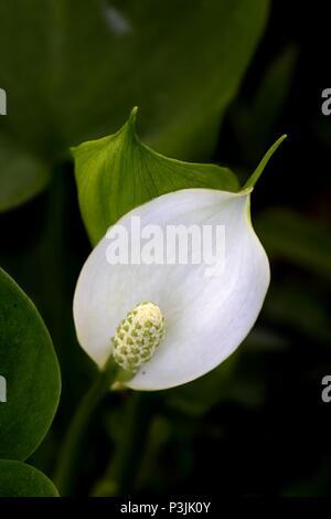 Bog arun, also called Wild Calla, Marsh Calla, Water Arum, Water-arum and Water-dragon, Calla palustris - Stock Photo