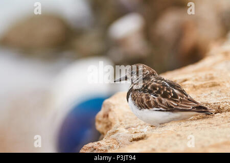 Ruddy turnstone (Arenaria interpres) resting in Estany des Peix marine lagoon seashore in Ses Salines Natural Park (Formentera,Balearic Islands,Spain) - Stock Photo