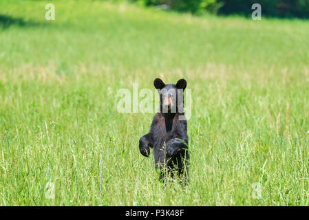 Horizontal shot of a standing Black Bear in a field looking at the Camera With Copy Space. - Stock Photo