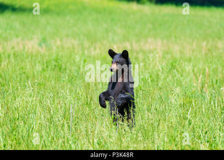 Horizontal shot of a standing Black Bear in a green field looking camera left with copy space - Stock Photo