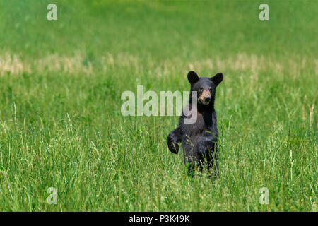 A north american black bear standing in a green field with copy space. - Stock Photo