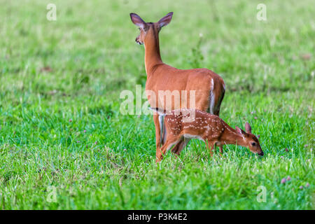 Horizontal shot of a white tailed deer with her fawn standing in green grass.  The deer is facing away.  Side view of the fawn. - Stock Photo