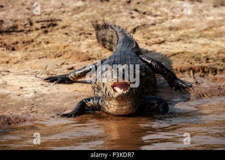 caiman at the water's edge, River Sao Lourenco, Pantanal, Brazil - Stock Photo