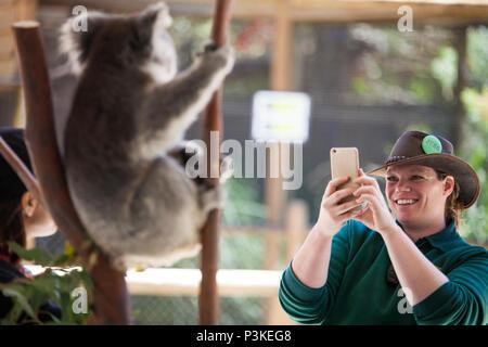 Perth Zoo worker photographing tourist posing with koala (Phascolarctos cinereus), Perth, Western Australia - Stock Photo