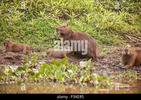 Young capybara (Hydrochoerus hydrochaeris) being suckled by its mother with other young capybaras sitting close by - Stock Photo