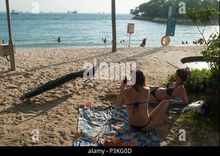 Singapore, Republic of Singapore, Asia, Peacock at Palawan beach on Sentosa - Stock Photo