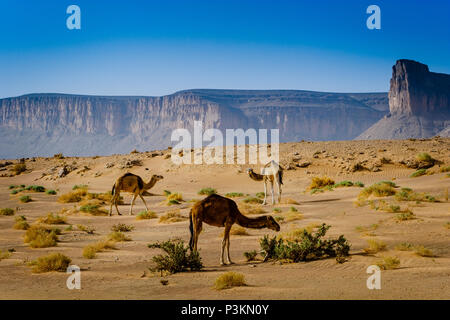 Wild camels wandering in the Moroccan desert. - Stock Photo