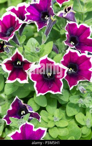 Petunia Cascadia Rim Magenta flowers in a hanging basket. UK - Stock Photo