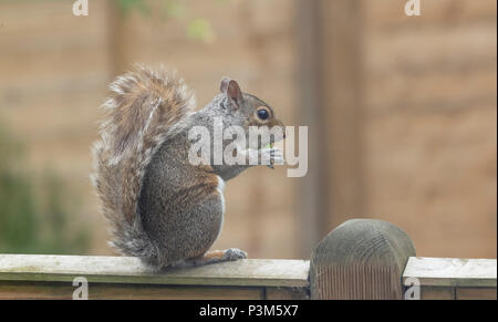 Grey squirrel (UK) on a garden fence. The squirrel is eating a small unripe apple. - Stock Photo