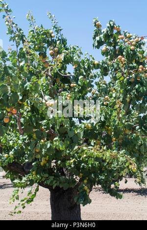 Apricots Ripening on Tree - Stock Photo