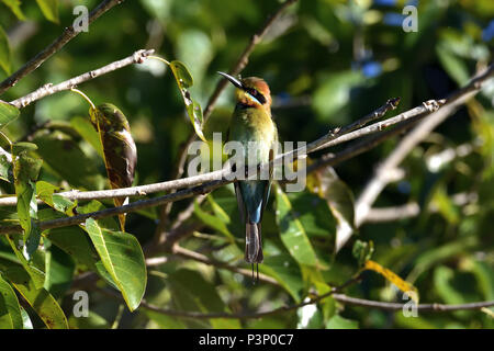 An Australian, Queensland Female Rainbow Bee-eater ( Merops ornatus ) perched on a tree branch - Stock Photo