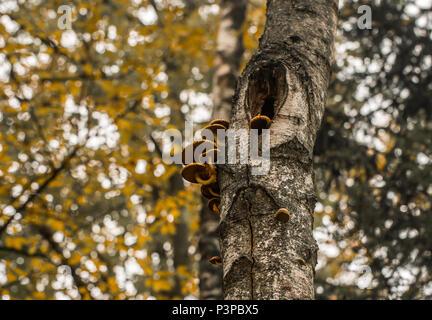 beautiful autumn mushrooms on a tree, the concept of autumn - Stock Photo