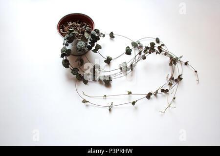 Ceropegia woodii potted plant isolated on white background - Stock Photo