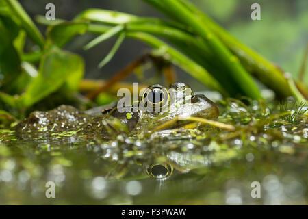 American Bullfrog (Rana catesbeiana) male in wetland, North America