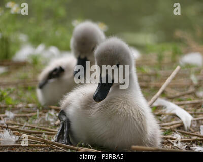 Baby swans, Cygnets, sitting and preening. Front cygnet close up, in focus, rear cygnet in bokeh - Stock Photo
