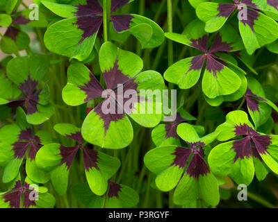 Iron Cross Oxalis tetraphylla leaves - Stock Photo