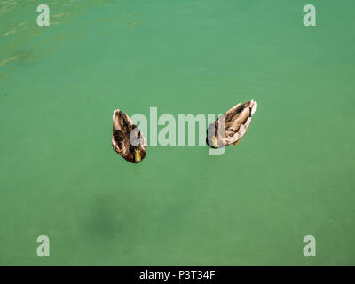 little ducks in the Lake of Annecy, France - Stock Photo