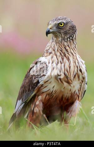 Western Marsh-Harrier (Circus aeruginosus) male, Poland Stock Photo