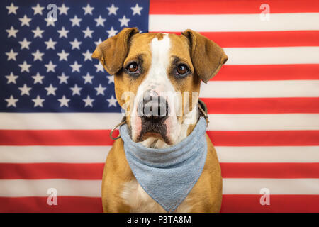 USA independence day concept, with american staffordshire terrier dog and stars and stripes flag in studio. Young pitbull dog or trained service dog i - Stock Photo