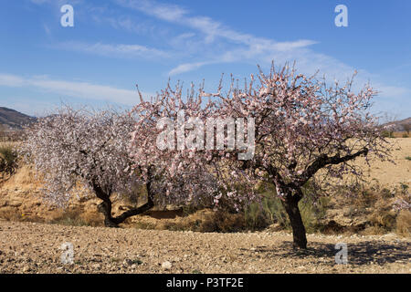 Prunus dulcis, Almond grove in full flower, pink and white blossom, February 2018, Almeria Andalucia Spain - Stock Photo