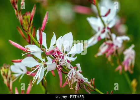 Lindheimer's beeblossom, Gaura lindheimeri - Stock Photo