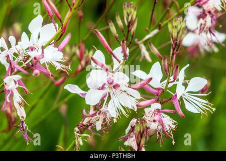 Lindheimer's beeblossom, Gaura lindheimeri flowers - Stock Photo