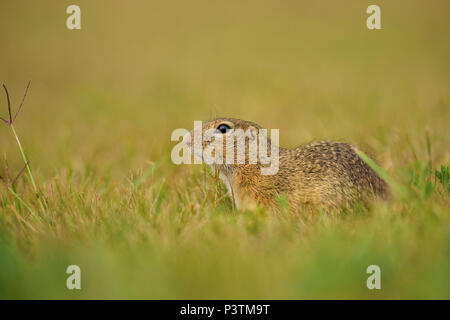 European Ground Squirrel - Spermophilus citellus, cute little ground squirrel from European meadows and fields. - Stock Photo
