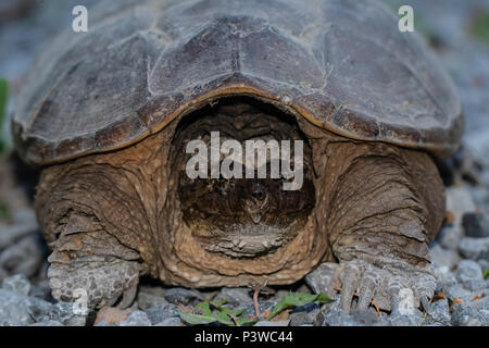 Portrait of a female snapping turtle, searching for a location to lay eggs - Chelydra serpentina - Stock Photo