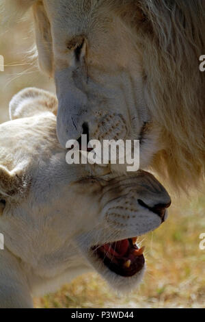 Pair of white Lions (Panthera Leo Krugeri ) in a playful mood in the Drakenstein Lion Park, Klapmuts, South Africa. - Stock Photo