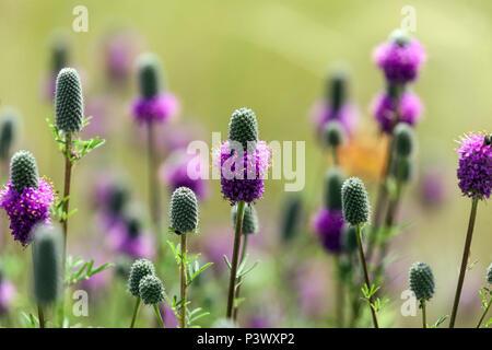 Purple prairie clover, Dalea purpurea