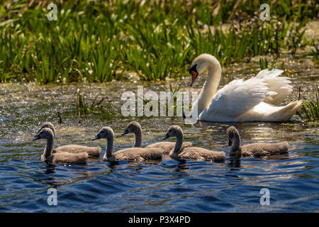 White Swan family and cygnets in Danube Delta - Stock Photo