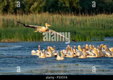 Pelican colony with Great White Pelicans and the Dalmatian Pelicans (Pelecanus crispus) in the Danube Delta - Stock Photo
