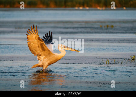 PelicaBirdwatching in the Danube Delta. The Great White Pelican (Pelecanidae) flying at sunsetn landing on a lake in Danube Delta, Romania - Stock Photo