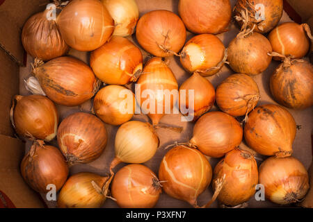 bunch of Onions in a wooden box - Stock Photo