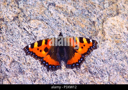 Small Tortoiseshell, Aglais urticae, Nymphalidae, butterfly, insect, animal, Leventina, Canton of Ticino, Switzerland - Stock Photo