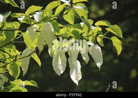 Davidia involucrata, the dove-tree, handkerchief tree, pocket handkerchief tree, or ghost tree, is a medium-sized deciduous tree in the family Nyssace - Stock Photo